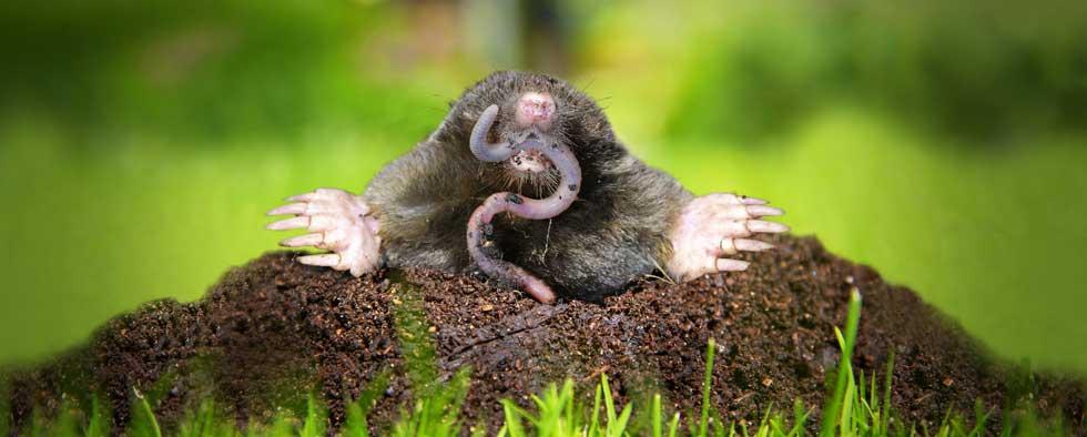 mole-worm